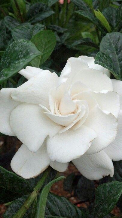 Gardenia In Bloom Millstone Market And Nursery Flowers Bloom Nursery
