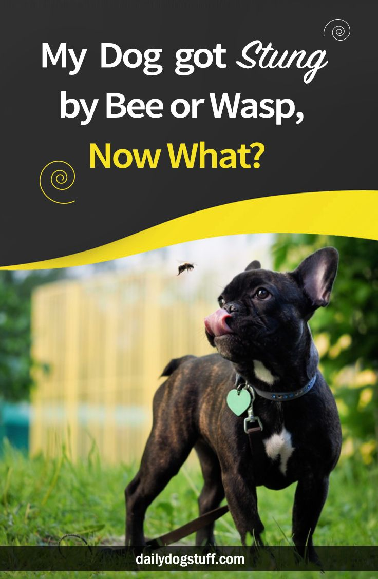 My Dog got Stung by Bee or Wasp, Now What? Dog bee sting
