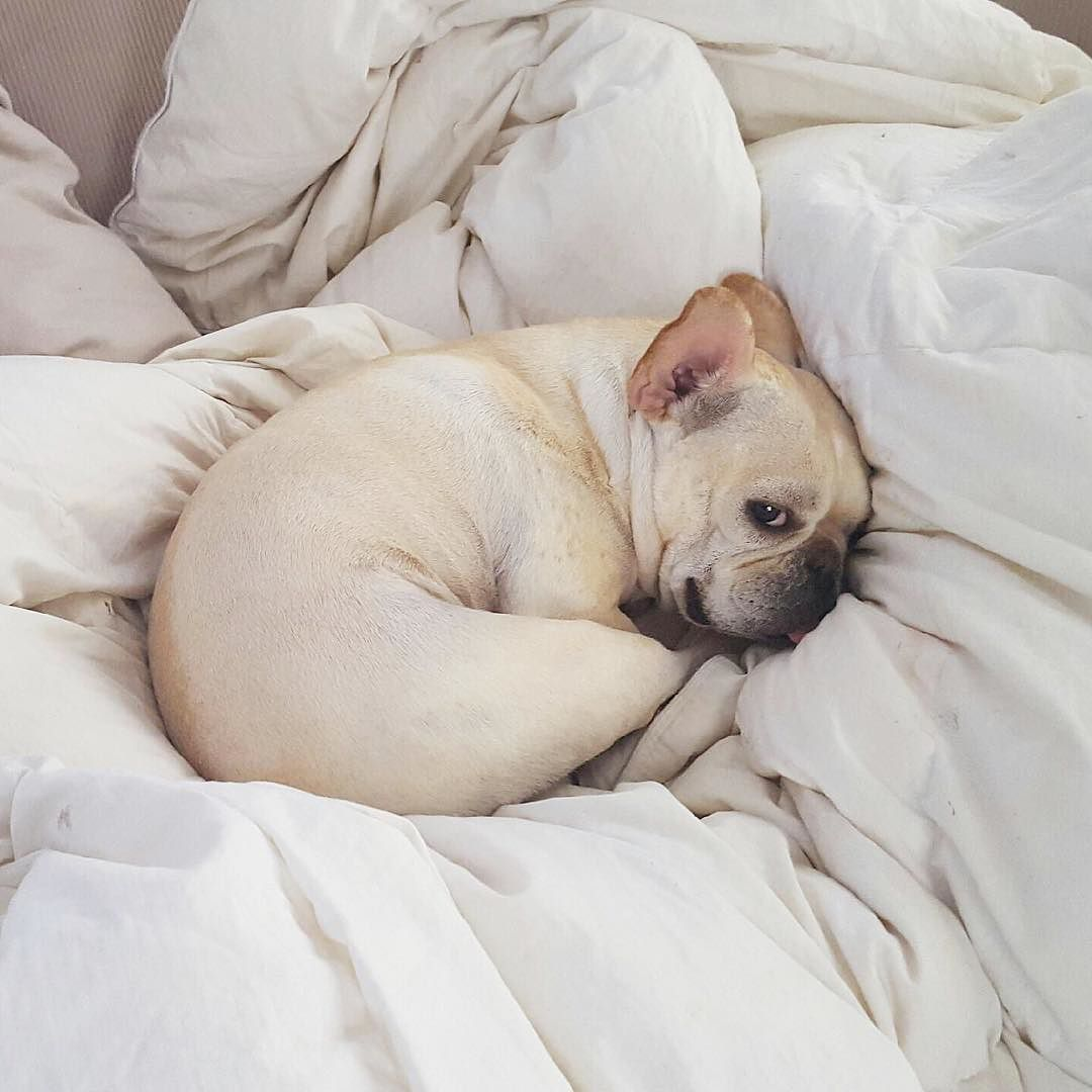 """Get Up?...I don't wanna"", sleepy French Bulldog Puppy."
