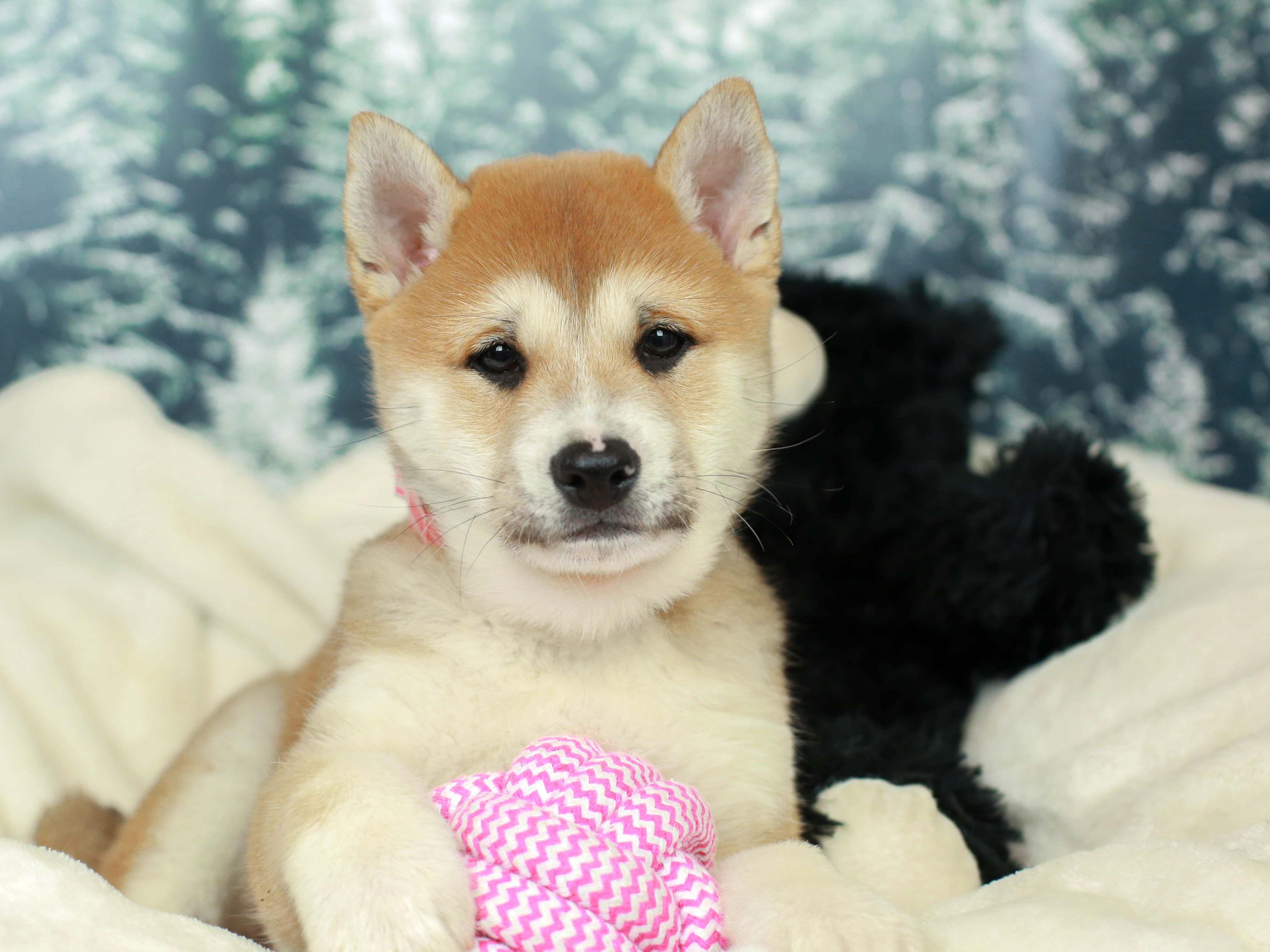 Shiba Inu Puppy Shiba Inu Puppy Puppies For Sale Puppy Store