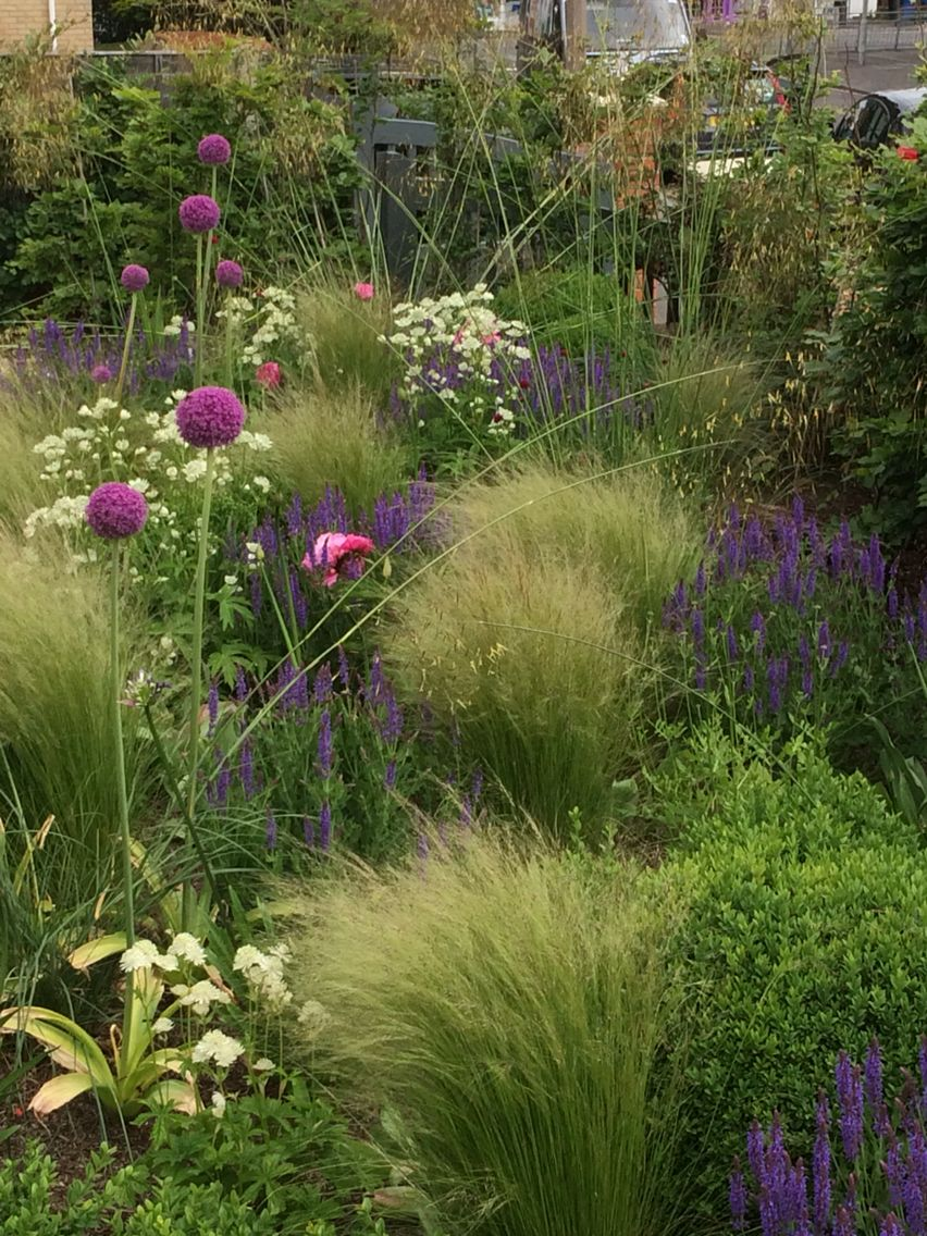 Beautiful garden of Box balls Stipa tennuisima Salvia nemorosa