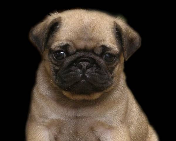 Pug Dog History Click The Picture To Read Cute Pug Puppies Baby