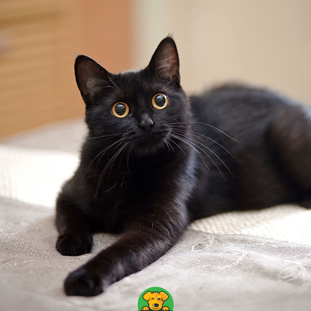 National Black Cat Day National black cat day, Pet day