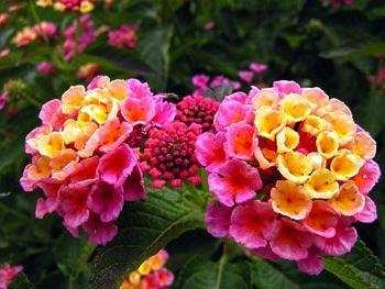 Confetti Lantana Seeds Lantanas Are One Of My Favorite Flowers Flowers Perennials Lantana Flower Pots