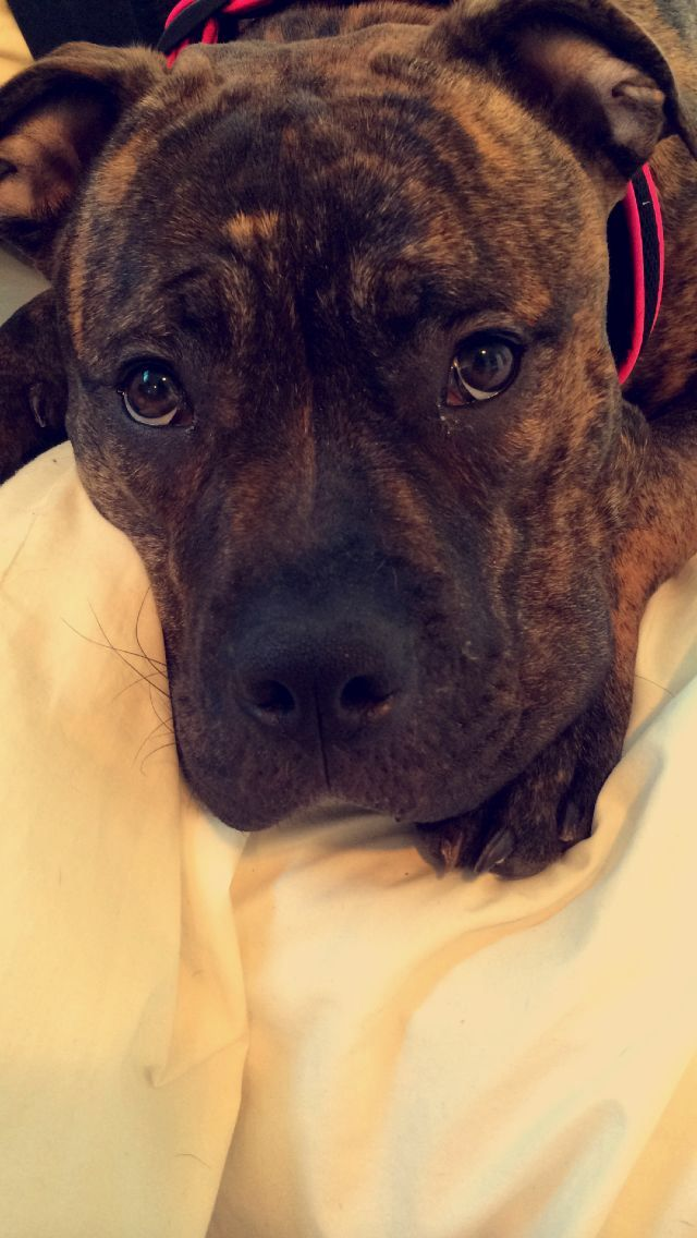 Nova My Brindle Pitbull X Mastiff Pitbull Puppies Pitbull