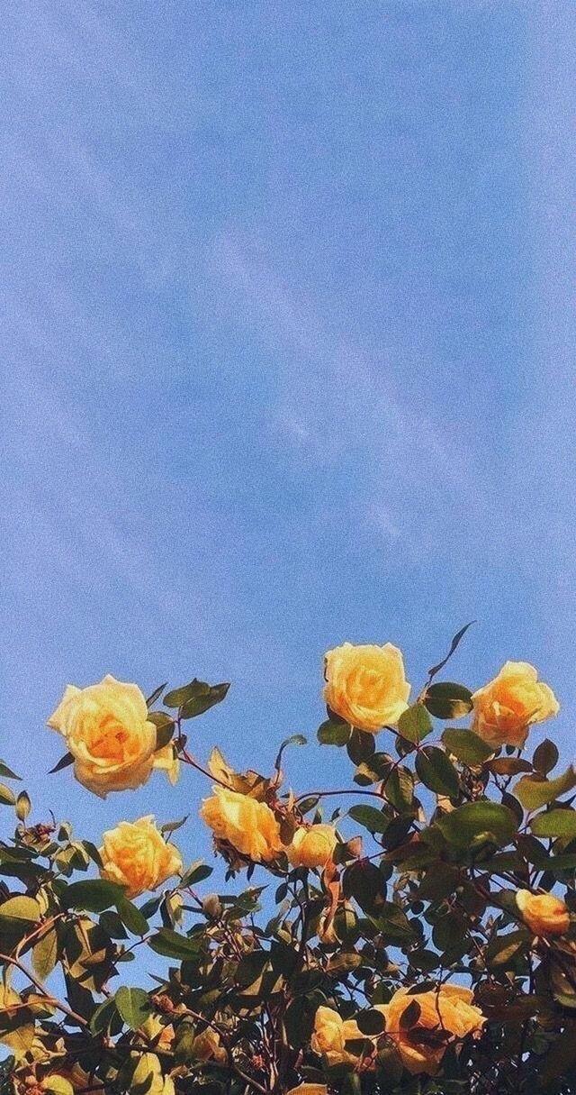 yellow flowers, blue sky, wallpaper Flower aesthetic
