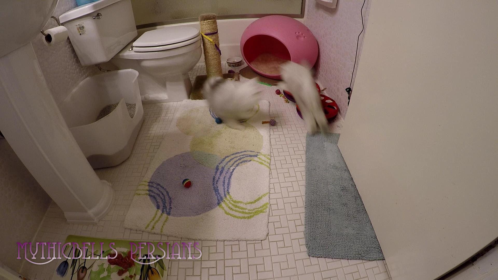 16 06 22 Persian Kittens Krakatoa And Sitka Morning Romp Persian Kittens Cute Kitten Gif Kittens