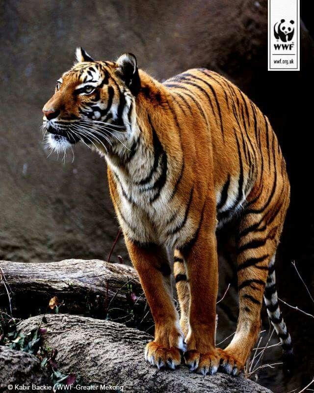 Indochinese Tiger Wild tiger, Tiger, Animals beautiful
