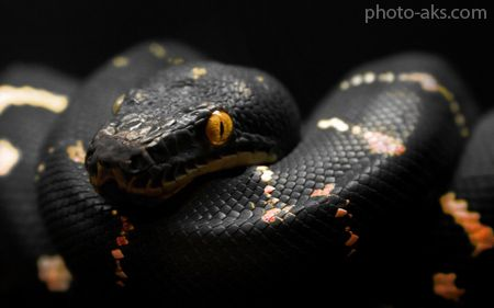 پوستر مار سیاه بزرگ Snake Wallpaper Snake Images Snake Black mamba hd wallpaper