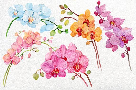 Orchidee Clipart A L Aquarelle 5 Branches D Orchids Aquarelle
