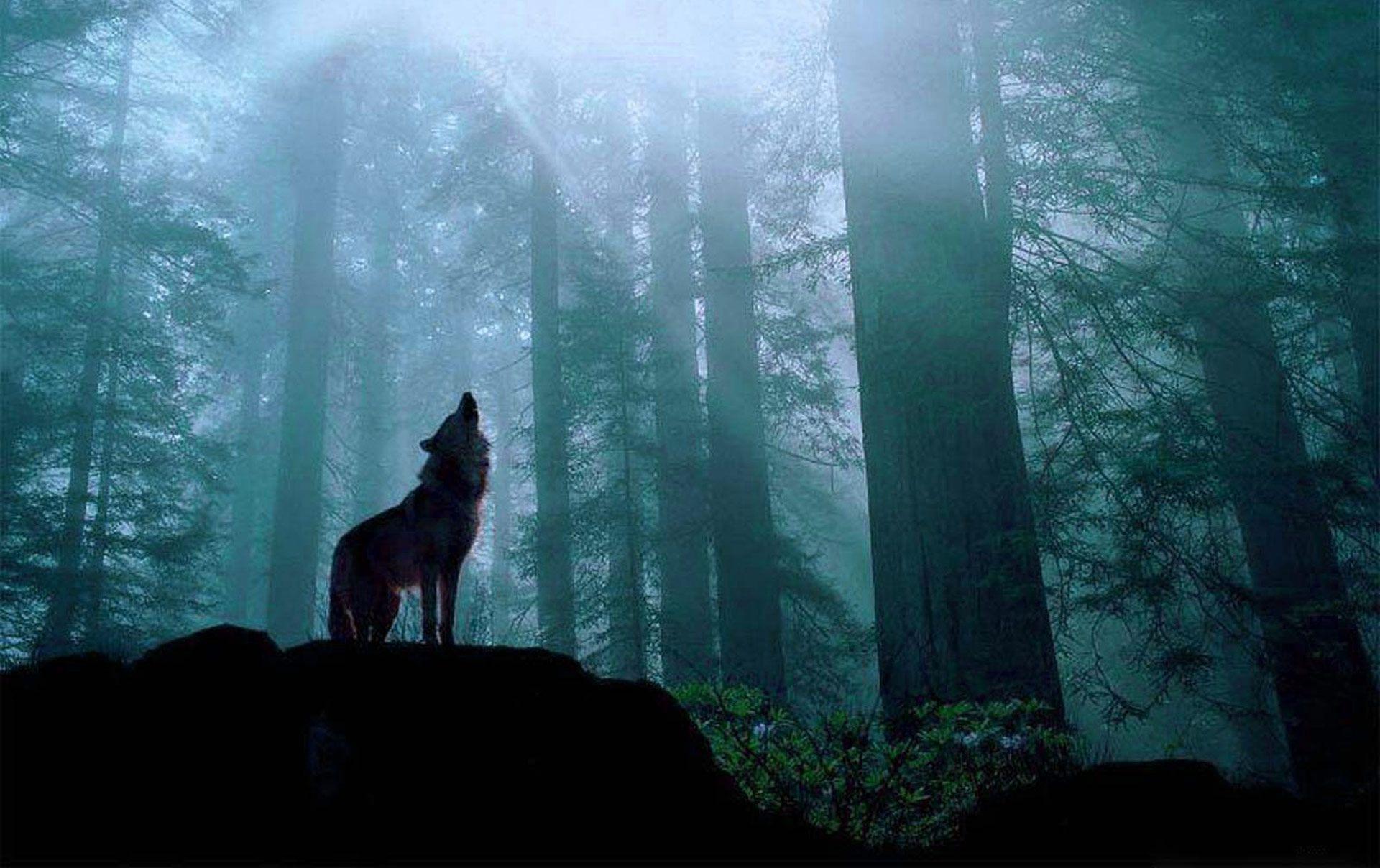 Fondo Pantalla Lobo En Bosque Bosque De Noche Imagenes De Lobos Fotos De Lobo