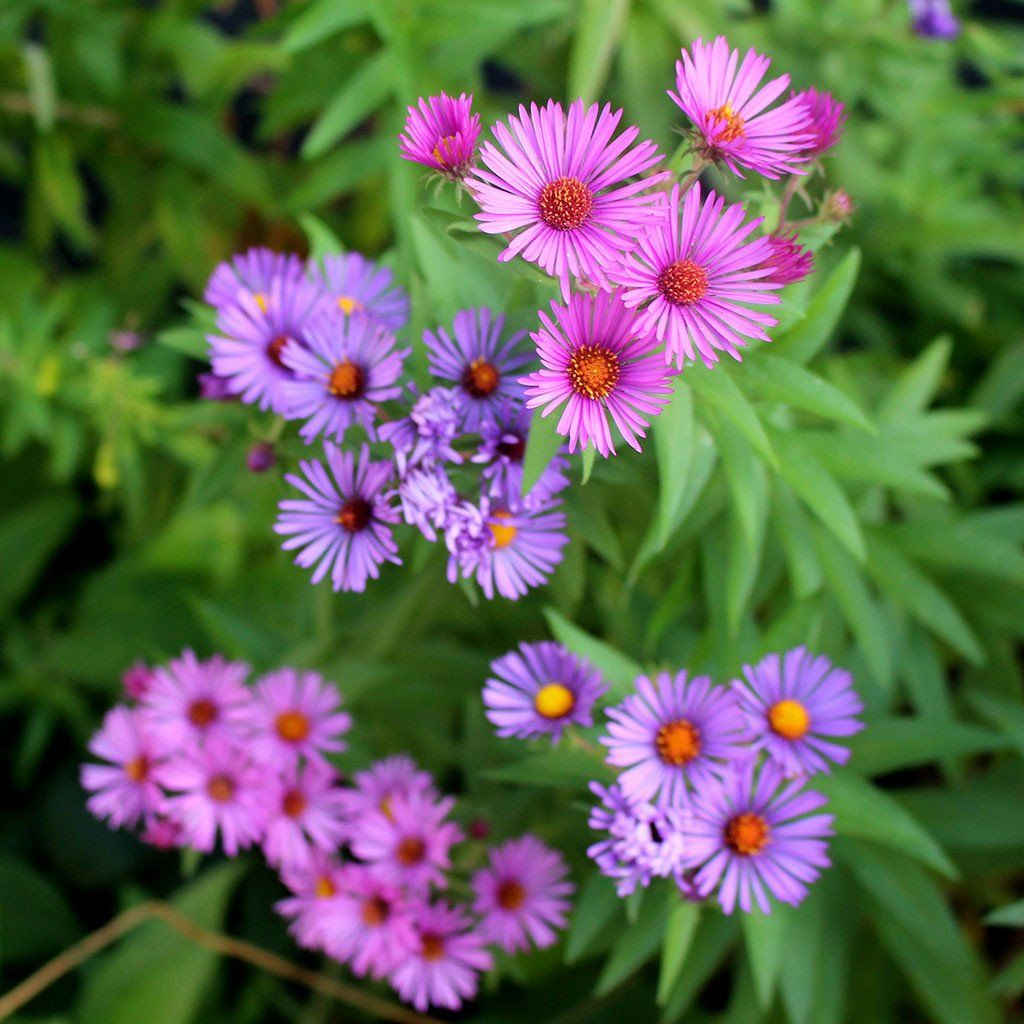 New England Aster Symphyotrichum Novae Angliae A Fall Blooming Meadow Aster With Bright Purple Or Pink Flowers Y Aster Flower List Of Flowers Spring Plants