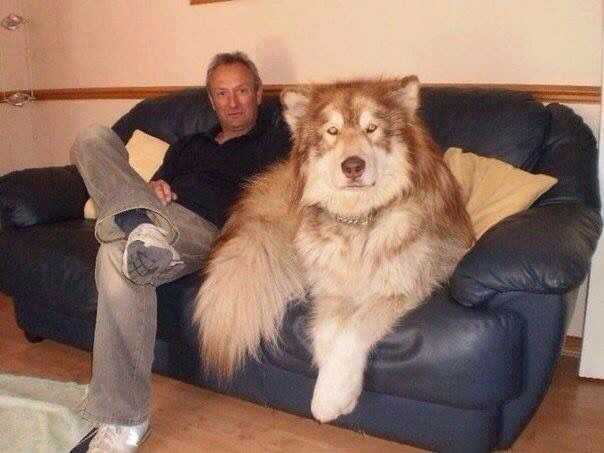 Big dog sitting on couch | Funny animal pictures, Cute animals ...