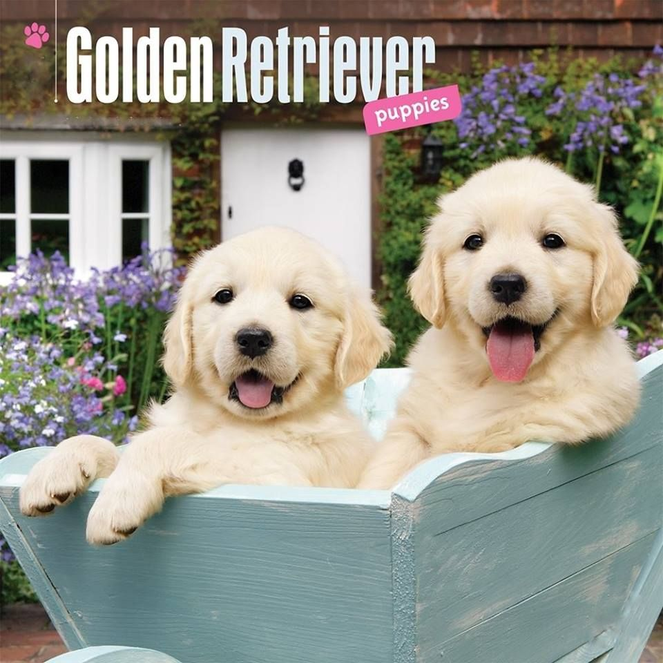Pin By Judith Franchi On Doggies Golden Retriever Puppies Pet People