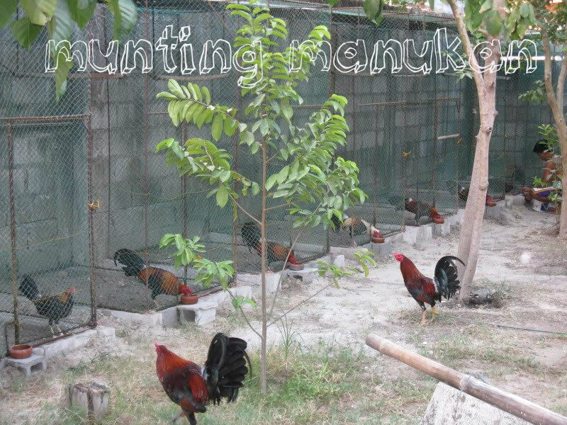 Fly pen dimensions  | Gamefowl | Rooster, Birds, Farm life