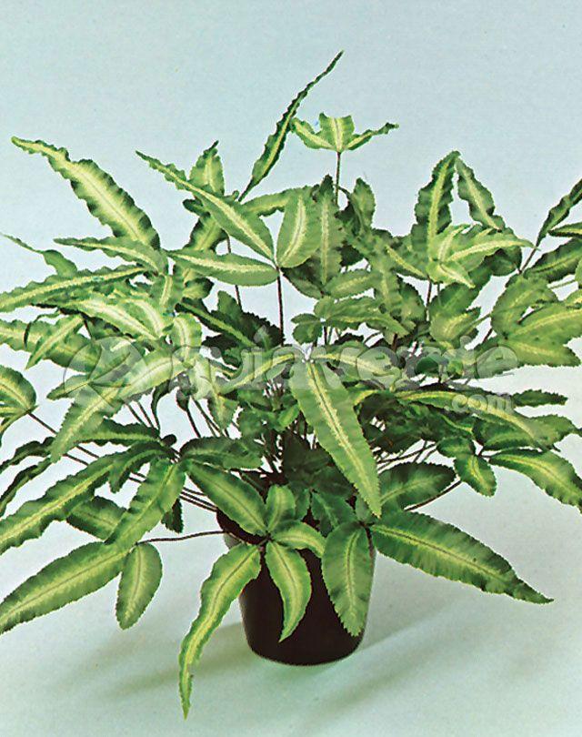 Helecho tembl n pteris cretica 39 albolineata 39 helechos for Plantas ornamentales helechos