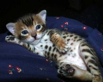 Serengeti Kitten Toyger Kitten Rare Cats Cute Cats