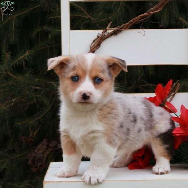 Jasper Pembroke Welsh Corgi Puppy For Sale In Pennsylvania