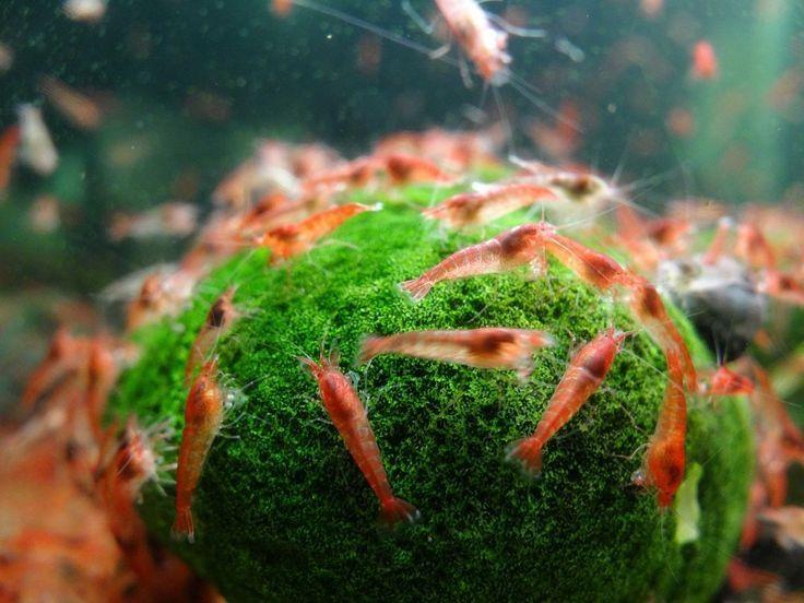 Opae Ula Shrimp, Hawaii Volcano Ecosphere The easiest