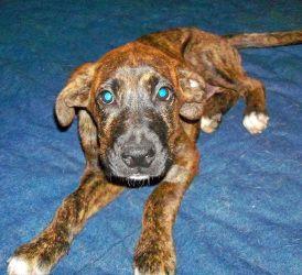 Adopt Rachel on Mountain cur dog, Dog adoption, Dogs