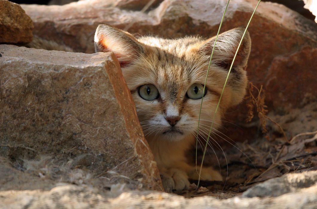 Такие разные кошачьи   Песчаная кошка, Самые милые ...