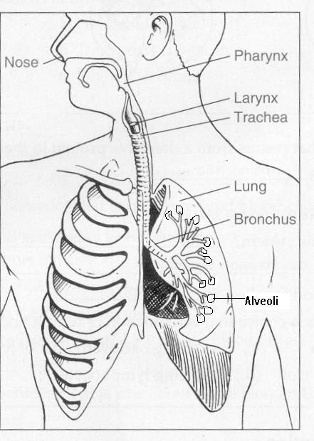 Respiratory System Labeled