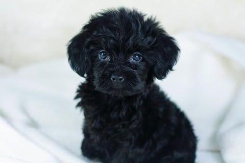 Yorkiepoo Soo Frickin Cutee Looks Just Like My Dog Jax Except Mine Is A Shih Poo Yorkie Poo Cute Dogs Yorkie