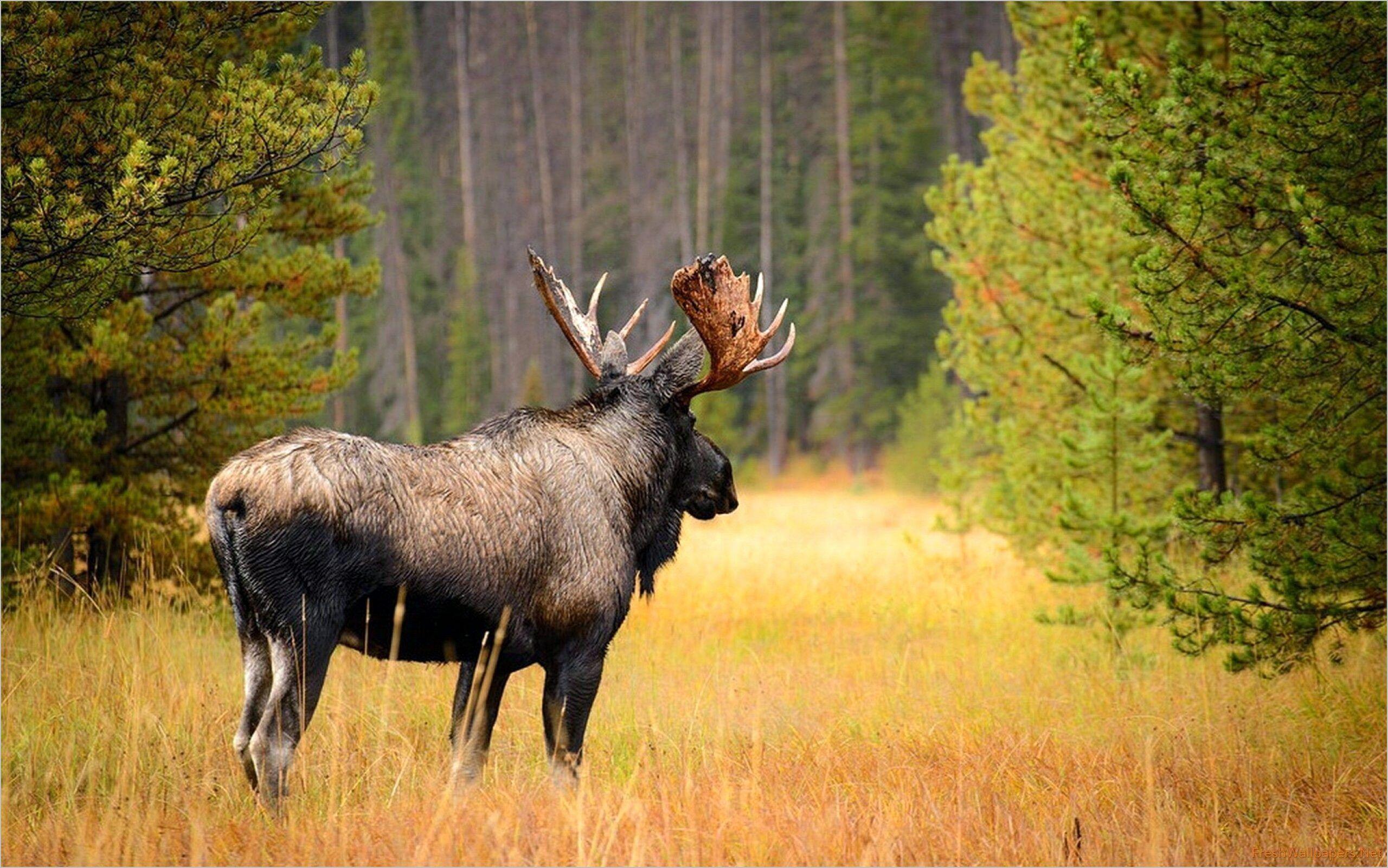 Amazing 4k Moose Wallpaper Moose Pictures Moose Hunting Moose
