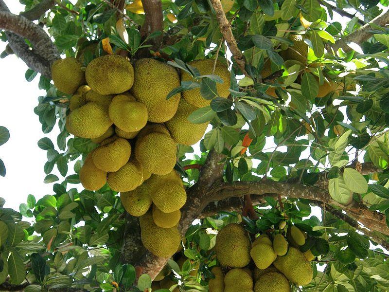 3 So Delicious Durianmayhem Jackfruit Tree Fruit Jackfruit Pictures