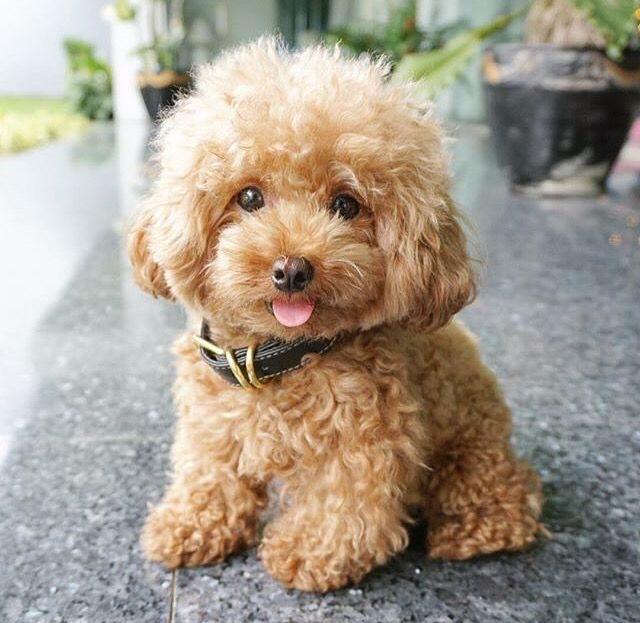 Ginger Poodle Cute Dogs Cute Animals Cute Puppies