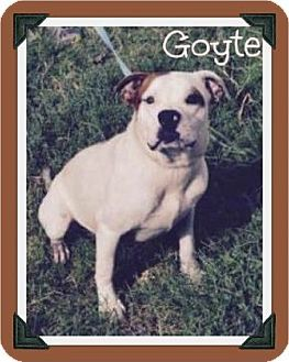 Arlington Tx American Bulldog Labrador Retriever Mix Meet