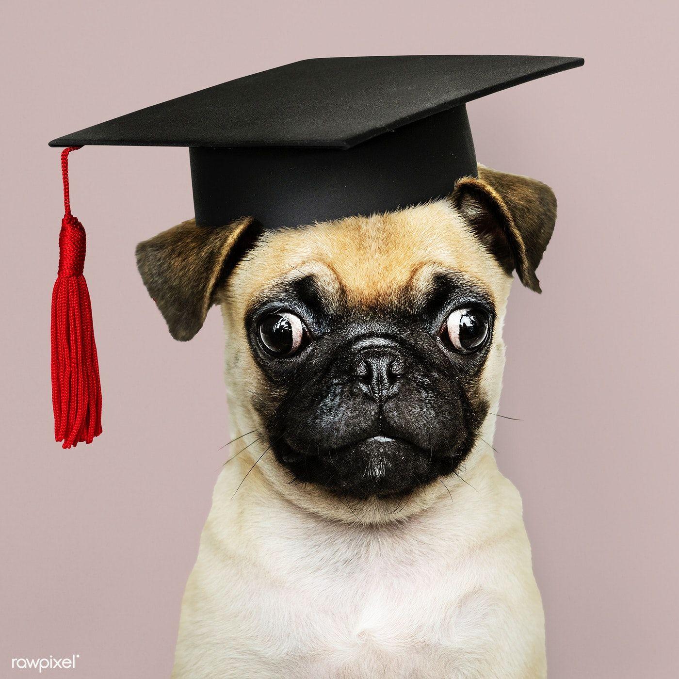 Download Premium Image Of Cute Pug Puppy In A Graduation Cap 547730 Cute Pug Puppies Cute Pugs Pug Puppy