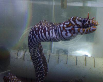 1c8ca77b947f Japanese Dragon Eel