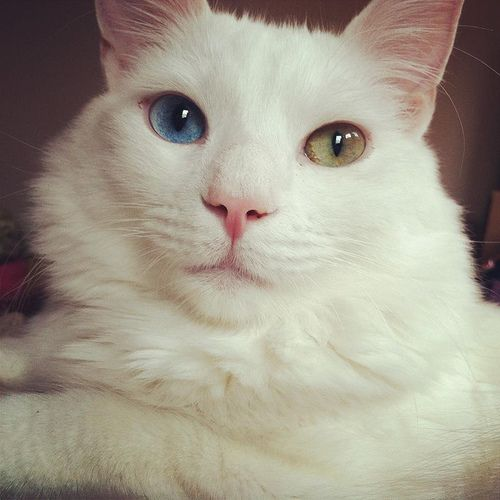 Oh Those Eyes Looks Just Like My Bubba Jay Kitty Beautiful But Deaf From Birth Genetic In White Cats Cat With Blue Eyes Crazy Cats Cute Animal Pictures