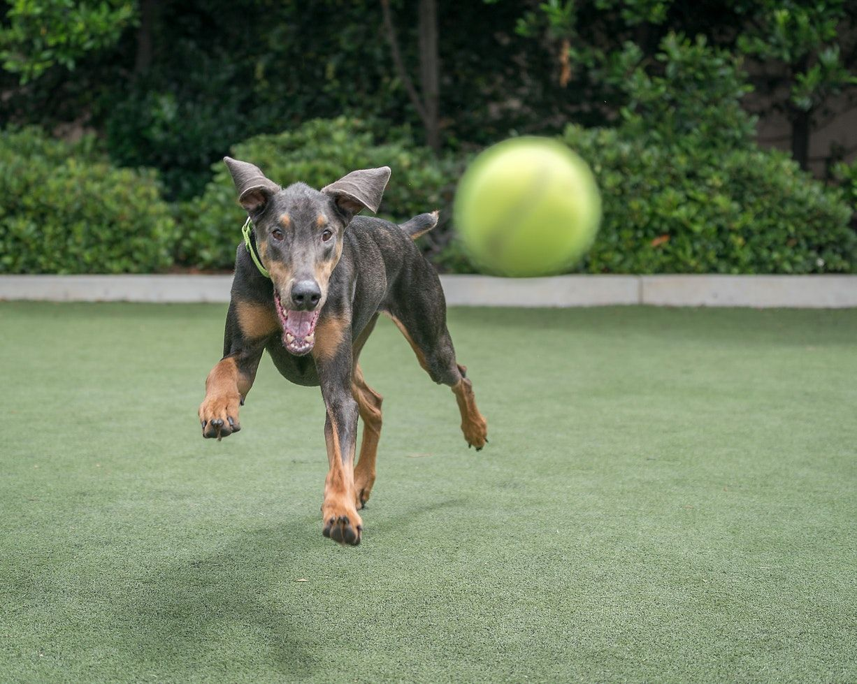 Short Coated Black And Tan Dog Dog Training Near Me Dogs