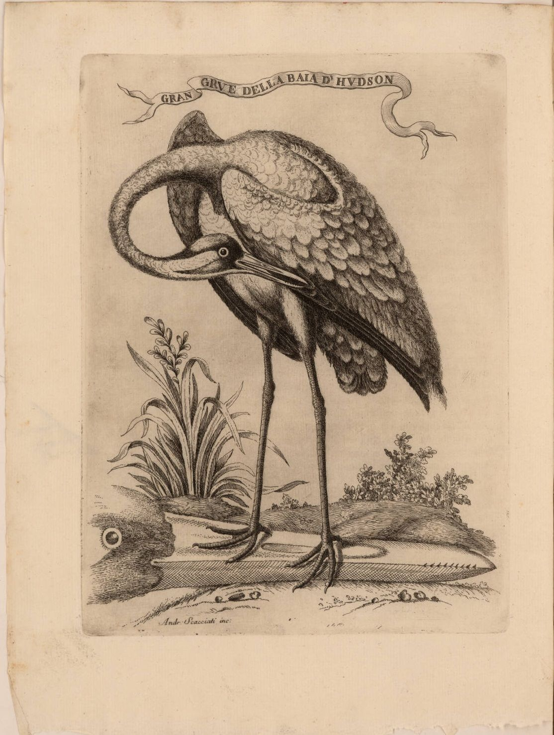 Bird etchings from the 1763 Italian  version of 'The American Gazetteer'