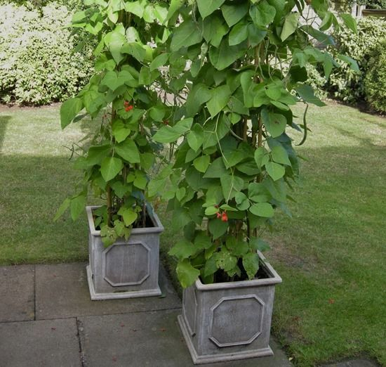 How To Grow Beans In Pots And Containers Growing Green 400 x 300