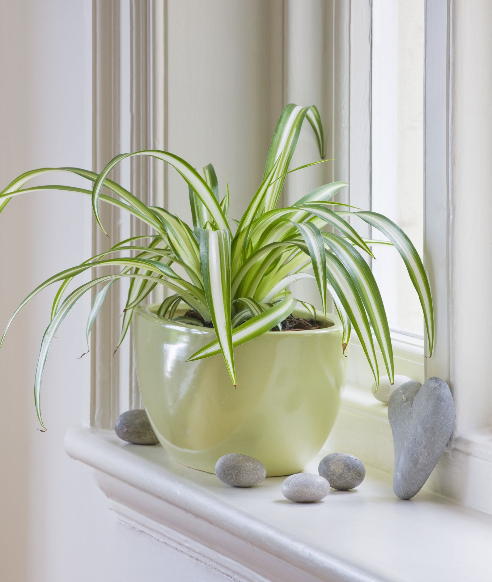 Growing Spider Plants Indoors: Houseplants That Are Perfect For Gardening Beginners