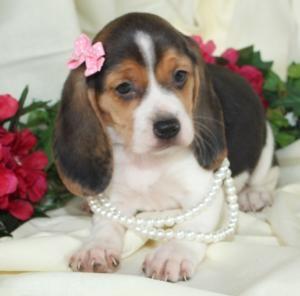 She S Adoreable I M Getting A Girl Naming Her Tessa Beagle Puppy Beagle Beagle Dog