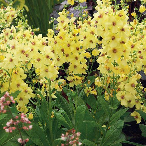 Verbascum Or Mullein Are Tall Perennials That Are Perfect
