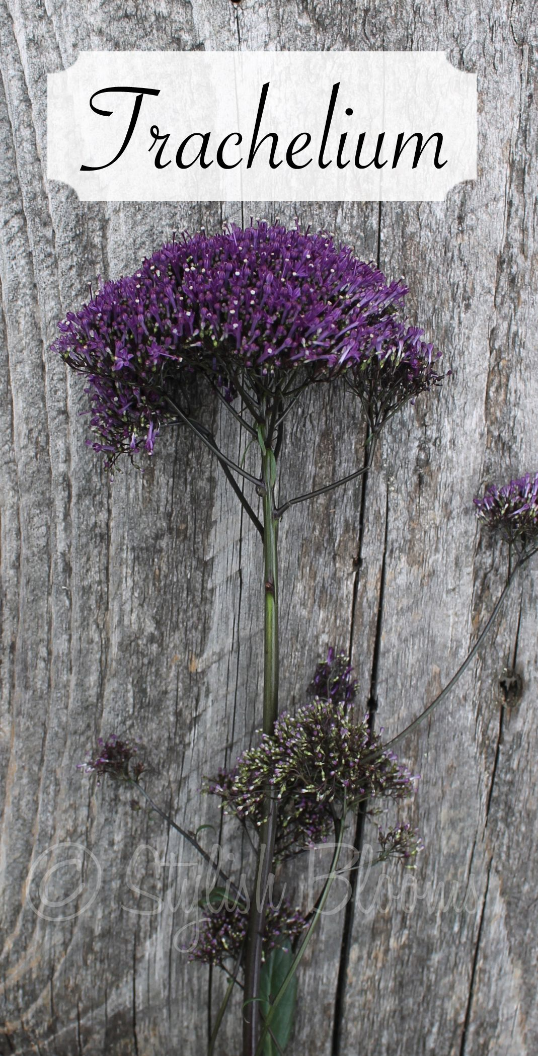 Purple Trachelium Flowers Are Available For Brides In Scotland In