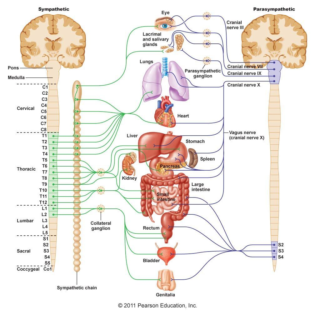 Sympathetic & Parasympathetic Spinal Nerves … | living room ...
