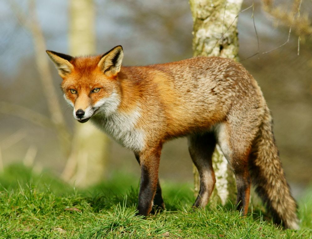 deciduous forest animals The amazing fox on the prowl