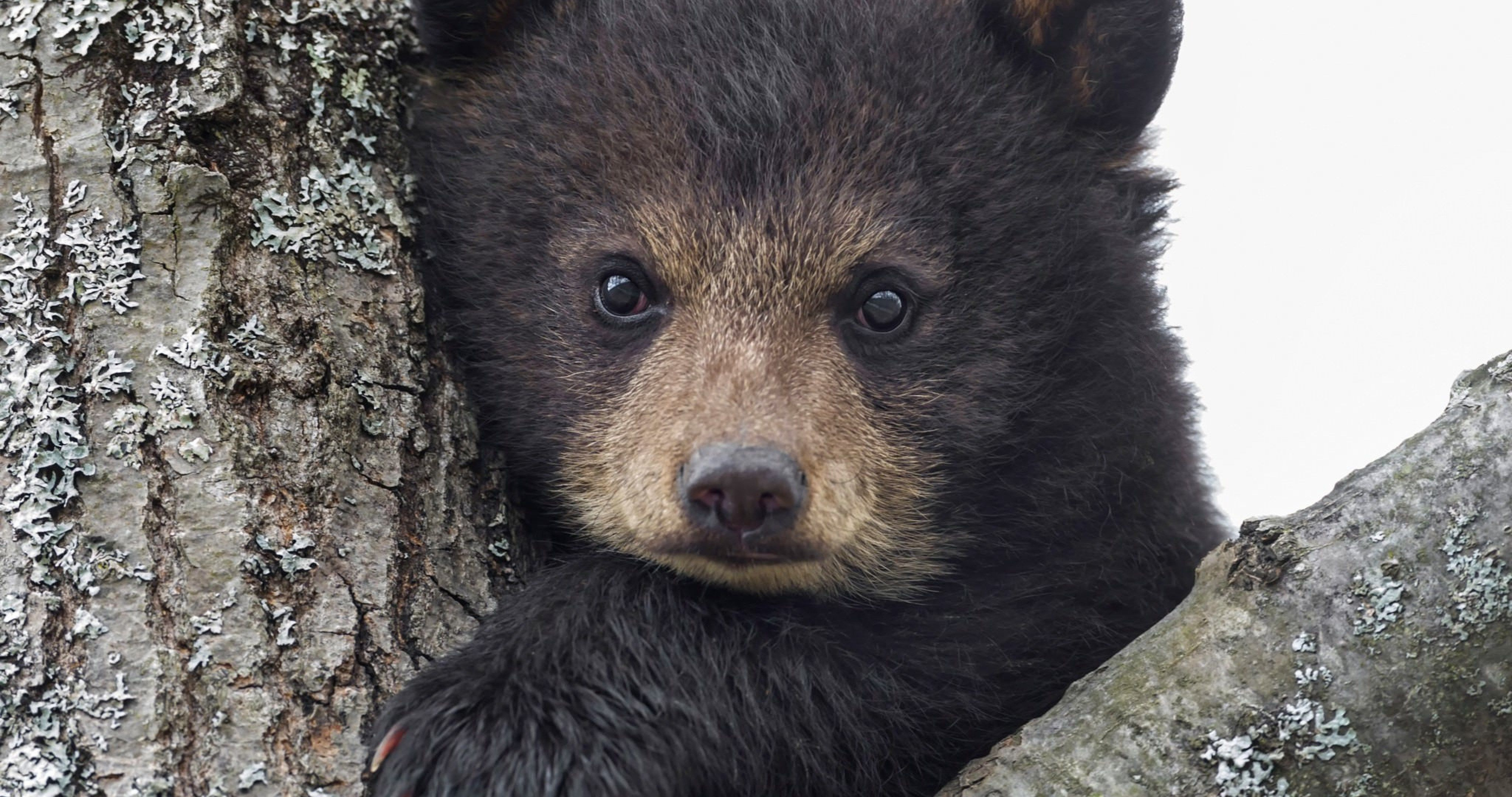 Baby Bear 4k Ultra Hd Wallpaper Ololoshenka Bear Cubs Animals Bear