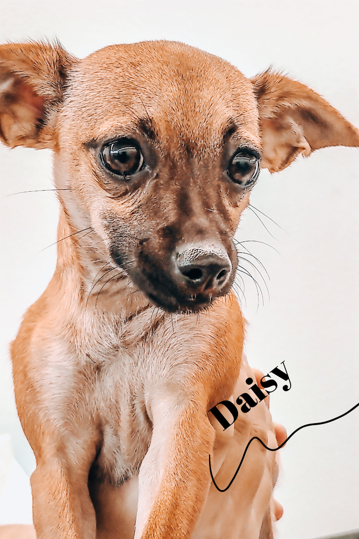 Meet Daisy Animal Shelter Design Small Dog Adoption Humane Society Dogs