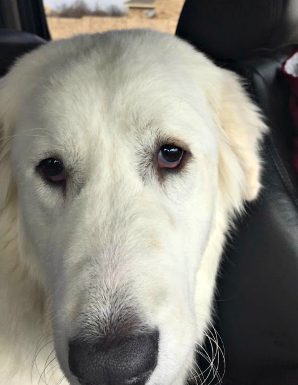 Golden Pyrenees Dog For Adoption In Fort Worth Tx Adn 785080 On