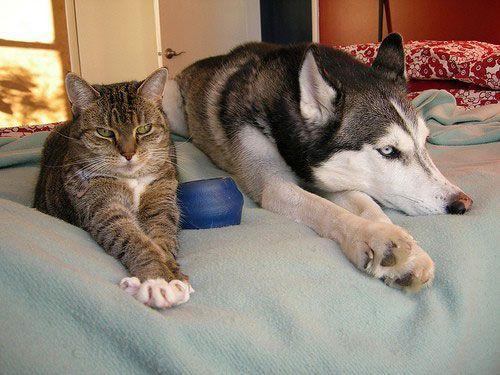 Husky Behavior Issues Lustige Katzen Und Hunde Niedliche Welpen