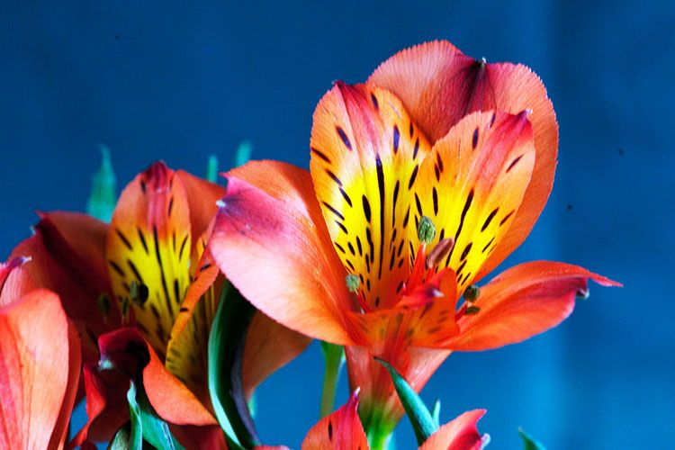 Alstroemeria Care Growing The Peruvian Lily Epic Gardening Peruvian Lilies Alstroemeria Weird Plants