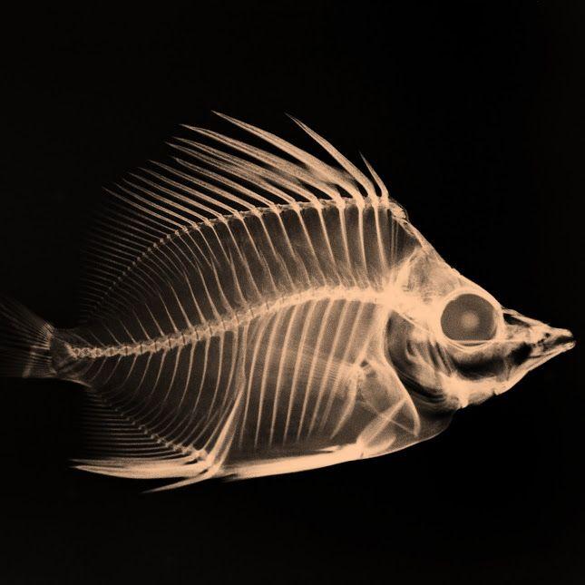 X Ray Fish Xray Art Fish Anatomy Fish Sculpture