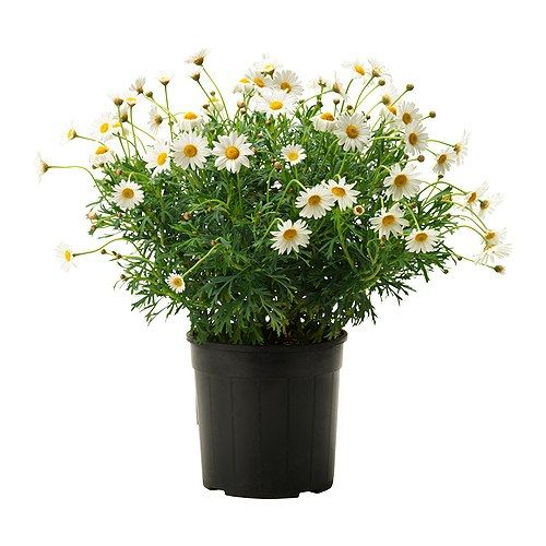 argyranthemum frutescens pflanze ikea gr npflanzen und bert pfe im pers nlichen stil beleben. Black Bedroom Furniture Sets. Home Design Ideas